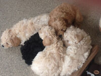 FOR SALE stunning adorable litter of poochon puppies Black red cream & white bichon toy poodle