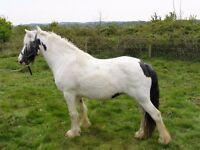 Piebald feathered cob mare 14hh
