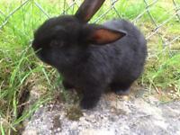 Baby black rabbits