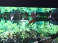 Adult Paradise Fish