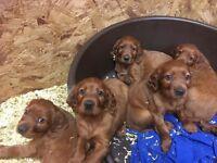 Beautiful Irish Red setter pups