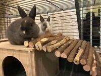 2 Netherland Dwarf Rabbits