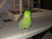 Young Green Male Parrotlet. Tame and Talking, cage and toys included