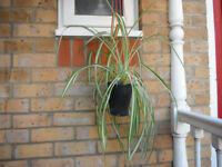 Large spider plants