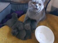 British blue babies! Amber eyes blue/grey fur