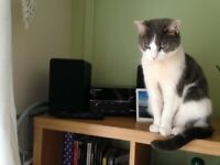 Missing grey and white Cat. Thornhill.