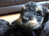Yorkiepoo Yorkshire Terrier x Poodle Pookie puppies