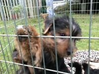 Beautiful Yorkshire terrier puppies ready now