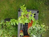 Honeysuckle plants in a 16 cm pot