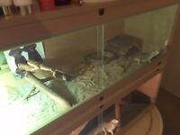2 juvenile bearded dragons + vivarium for sale