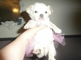 Pedigree chihuahua puppies for sale Blackpool