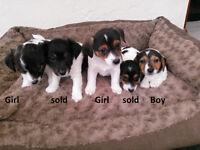 Lovely Miniature Jack Russell/Yorkie Cross (Jorkie) Puppies