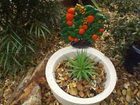 Concrete (reconstituted stone) Orange Tree Garden Planter – Garden Ornament/Indoor Use