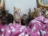 Four beautiful kittens born July 31st 2017. Two male ginger and two female tabby/tortoiseshell