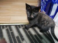 Playful kitten for sale