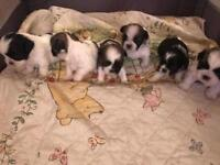 Shihtuz puppies for sale. 1 boys and 1 girls.