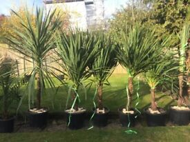 Over 6ft height lovely and established hardy Green Cordylines