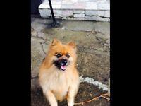 Lovley Pomeranian for sale BARGAIN 🐕