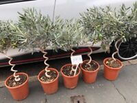 Corkscrew olive trees, already with olives on! Ideal gift idea, just £30 each, stowmarket