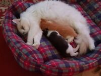 Two cute kittens and pedigree ragdoll mother.