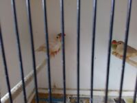 Aviary Clearance Zebra Finches(9 Months old) - £3 each. Phone calls only.