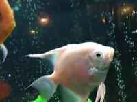 Angel fish Gorgeous rare pearl white female angel stunning fish growing very quickly
