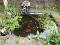 COMPLETE CONTENTS OF GARDEN POND, MATURE FISH/ PLANTS/ FILTER AND PUMP