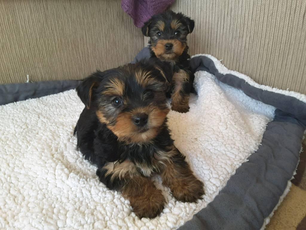 yorkshire terrier puppies in swindon wiltshire gumtree