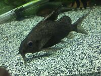 2 sydontis cats,approx 7/8 inch's.selling due to changing to saltwater.