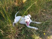 Puppy staff Pablo almost 7 months loving home needed