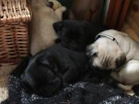 PUG PUPPIES!! BEAUTIFUL BUNDLES