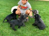 Lovely cane corso puppies