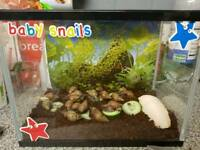 Giant african land snails ×17