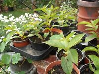 Cuttings Of Weigela Shrubs in Pots (dark red flower)