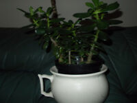 FOUR MONEY PLANTS FOR SALE,TWO SMALLER ONES TWO LARGER ONES,HEALTHY.................................