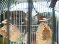 2 Healthy male Zebra Finches with cage and stand