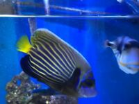 Emperor angelfish marine tropical reef fish Aquarium Red Sea