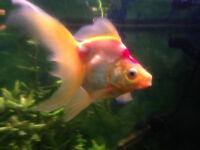 Free Large Fantail Goldfish