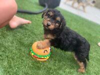 Small Yorkiepoo puppies 1 male 1 female