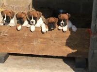 Boxer Puppies looking for their forever homes