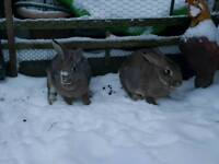 Two brown female rabbits