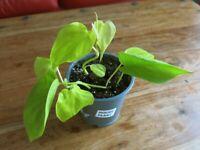 Lemon Lime Philodendron, Heart Shape Leaf. Evergreen Trailing Indoor Garden House Plant.