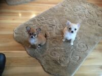 Full bread chihuahuas for sale