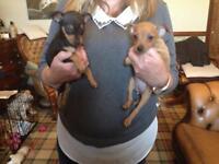 Minature Pinscher Puppies