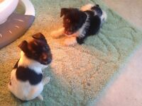 Dashound + jackrussell puppys