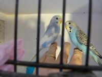 budgies hand tame young