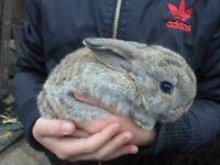 baby bunnies lionhead lops