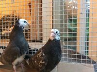 2 young pigeons