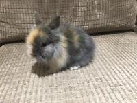 Male Lionhead Rabbit for sale