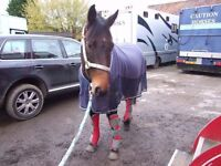 15.3hh Horse For Loan With View To Buy